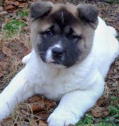 Akita mix puppies can come in many different colors and sizes. Check out some different pictures of the akita mix puppy and learn about the breed. Akita Inu Puppy, Akita Puppies, Shiba Inu, Dogs And Puppies, Doggies, Loyal Dog Breeds, Loyal Dogs, Rare Breeds, American Bulldog Mix