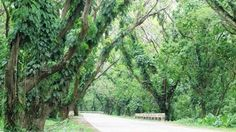 """Palawan's scenic """"Acacia Tunnel"""" to be spared from superhighway project Palawan, Philippines, Puerto Princesa, Philippine News, Lifestyle News, Acacia, The Expanse, Environment, Nature"""