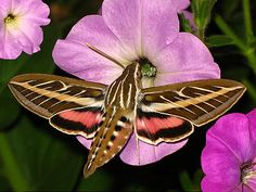 White lined Sphinx Moth. I saw one of these buzzing and flying around once.