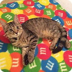 Xenia, OH - Domestic Shorthair. Meet Biscuit, a cat for adoption. http://www.adoptapet.com/pet/16069354-xenia-ohio-cat