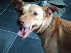SKIPPY energiek en erg lief!!    Zoekt een 4 Ever Home!          in opvang Nederland. http://www.podencoworld.nl/adoptiehonden/honden/1-podencos/260-skippy…