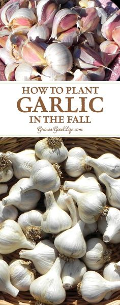 Garlic is one of the easiest crops you can grow in your garden. It is a long season crop with a unique growing pattern compared to other garden crops. Garlic is planted in fall in order to give it a head start and enough time to produce a larger bulb. Growing Veggies, Growing Herbs, Growing Tomatoes, Gardening For Beginners, Gardening Tips, Gardening Gloves, Gardening Services, Gardening Books, Gardening Supplies