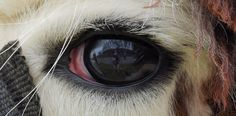 Macro photo of a lama's eye by Claude Charbonneau.