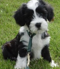 Tibetan Terrier....i took a test of what dog am i...and this is the one.  can i have him?????