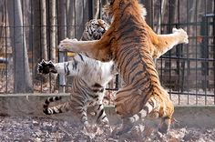 Tiger cat fight