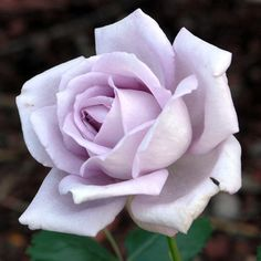 'Moonlight Magic' Large Flowered Hybrid Tea Rose Bush Bareroot | eBay