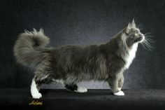 Mine.. I mean Maine Coon...