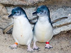 Little Blue Penguin - Penguin Facts and Information