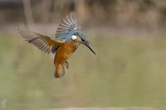 Kingfisher by Claudio Massanelli on 500px