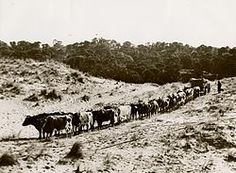 a 'herd' or 'drove' of oxen - An ox (plural oxen), also known as a bullock in Australia, New Zealand and India, is a bovine trained as a draft animal. Photo shows a team of 10 pairs of oxen in Australia.