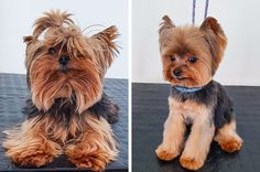 amazing different of dogs after return from the groomer 17 People says his resultat Yorkie Terrier, Fox Terriers, Yorkie Puppy, Yorkshire Terrier Puppies, Goldendoodle, Yorkshire Macho, Yorkie Cuts, Yorkie Hairstyles, Puppy Haircut