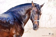 Zedin Andalusian Horse, Head Shots, Horse Head, Horse Stuff, Spanish, Horses, Animals, Beautiful, Animales