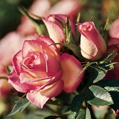 Child's Play Miniature Rose It boasts white blooms with pink-edged petals that exude a fresh, fruity scent. My Flower, Pretty Flowers, White Flowers, Romantic Roses, Beautiful Roses, Mini Roses, Red Roses, Parfum Rose, Knockout Roses