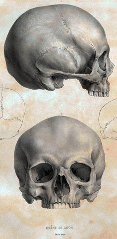 scientificillustration:  Crane de Lapon