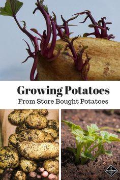 Growing Potatoes From Store Bought Potatoes - Modern Potato Gardening, Planting Potatoes, Backyard Vegetable Gardens, Grow Potatoes, Tomato Garden, Growing Tomatoes, Growing Plants, Growing Vegetables, Hydroponic Vegetables