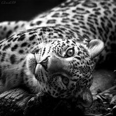 Beautiful Leopard even in black n white....................Mystic M