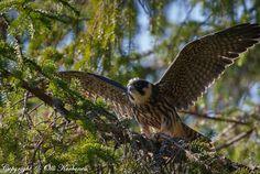 Eurasian hobby,falco subbuteo