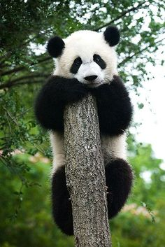 Am I the only one that thinks Pandas look like guys dressed in bear suits? Cutest Animals On Earth, Cute Baby Animals, Animals And Pets, Funny Animals, Wild Animals, Niedlicher Panda, Panda Love, Cute Panda, Panda China