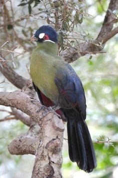 """Tauraco hartlaubi; Hartlaub's Turaco. Turaco Birds make up the bird family Musophagidae (literally """"banana-eaters""""), which includes plantain-eaters and go-away-birds. In southern Africa both turacos and go-away-birds are commonly known as louries. Musophagids often have prominent crests and long tails; the turacos are noted for peculiar and unique pigments giving them their bright green and red feathers."""