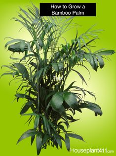 Bamboo Palm - How to Grow Care Guide - Chamaedorea Bamboo Palm, Indoor Bamboo, Big Indoor Plants, Indoor Palms, Indoor Garden, Palm Plant Care, Low Light Plants, Plant Diseases, Fruit Plants