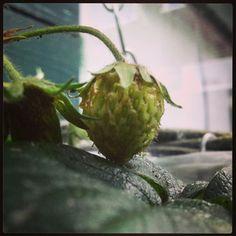 #Aardbei in de groei. #strawberry #garden