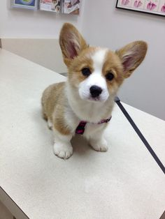 such a cute corgi baby. Z