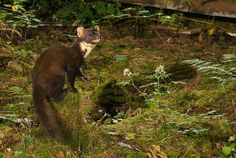 Pine marten research by the Waterford Institute of Technology, Ireland. Using baited plastic tubes they collect small samples of hair for DNA analysis to study the interrelatedness and distribution of pine martens. Marten photographed by camera trap.