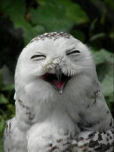 Another owl laughing!