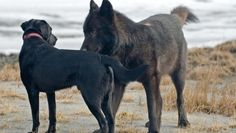 """""""He might as well have been a unicorn, or a character straight out of a Disney nature film,"""" Nick explains. """"I mean, a 120-pound wild wolf just shows up one day, and wants to play with our dogs, and is tolerant of people in general, and even friendly to some."""" Copyright Nick Jans"""