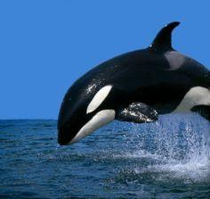 Orca whale in air