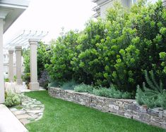 Pacific Wax Myrtle hedge.
