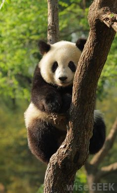 Young giant panda in a tree