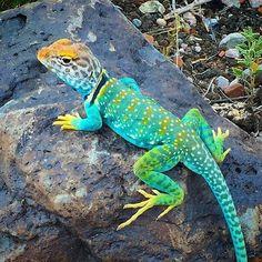 The Arizona Collard Lizard