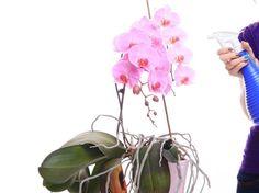 Orchideen düngen erfordert Fingerspitzengefühl, gerade in der Dosierung. Wichtig: Nicht zu viel und nicht zu oft den Orchideendünger verwenden. Clematis, Plant Hanger, Tricks, Glass Vase, Flowers, Plants, Gardening, Patio, Hibiscus