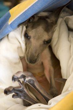 Rescued Joey Kangaroo