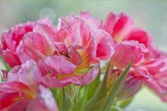 'Rosa Tulpen' von lisa-glueck bei artflakes.com als Poster oder Kunstdruck $18.03