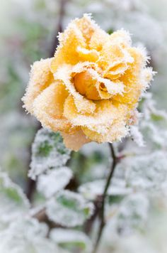 frosty rose by Raul Topan on Winter Sunset, Winter Scenery, I Love Winter, Winter Wonder, Winter Flowers, Winter Colors, Exotic Flowers, Beautiful Flowers, Frozen Love