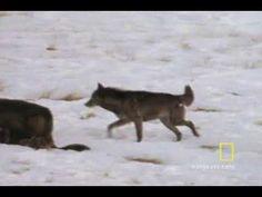 Wolf Hunting Tactics (predators v. prey)