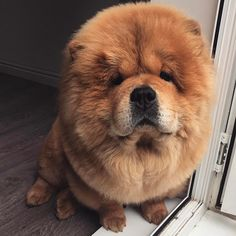 chow chow Baby Puppies, Cute Puppies, Funny Animals, Cute Animals, Chow Chow Dogs, Be A Nice Human, Amazing Things, Fur Babies, Dog Lovers