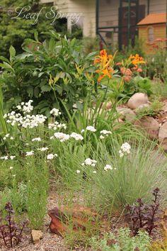 Perennial gravel garden with Daylily 'Twiggy', Blue Oat Grass, Peony 'Primavere', Achillea 'The Pearl', Sedum 'Postman's Pride'.