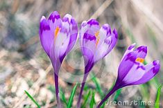 Photo about Three Crocus flowers on blurry natural background. Image of petals, wild, flower - 114003054 Natural Background, Stock Photos, Pure Products, Nature, Flowers, Plants, Image, Naturaleza, Plant