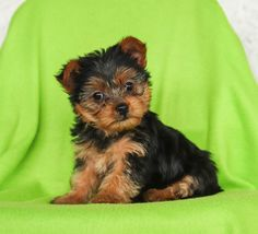 💚😍 These sweet and #Lovable #Yorkie puppies will have you turning your head just like Smarty when you meet these #Rambunctious little fur-buddies that will melt your heart!! ▬▬▬▬▬▬▬▬▬▬▬▬▬▬▬▬▬▬▬ #Charming #PinterestPuppies #PuppiesOfPinterest #Puppy #Puppies #Pups #Pup #Funloving #Sweet #PuppyLove #Cute #Cuddly #Adorable #ForTheLoveOfADog #MansBestFriend #Animals #Dog #Pet #Pets #ChildrenFriendly #PuppyandChildren #ChildandPuppy #LancasterPuppies www.LancasterPuppies.com Yorkie Puppy For Sale, Yorkie Puppies, Yorkshire Terrier Puppies, Puppies For Sale, Puppy Love, Small Dog Breeds, Small Dogs, Yorshire Terrier, Lancaster Puppies