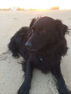Our flat coated retriever / border collie mix Bear
