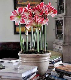 Mythological Amaryllis | Allen's Blog - P. Allen Smith Garden Home