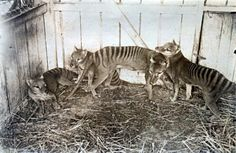 Family of Tasmanian Tigers (Thylacines) in a zoo in Hobart, Australia in 1910. . .extinct by the mid 30s. Beyond sad.