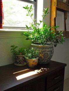 gardenia, centerpiece for dining table