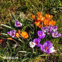 Markus Medinger Picture of the Day | Bild des Tages 18.03.2016 | www.mkmedi.de #mkmedi  #365picture #365DailyPicture #pictureoftheday #bilddestages #landscape  #instagood #photography #photo #art #photographer #exposure #composition #focus #capture #moment  #krokusse #crocus #spring #frühling  #marbach #ludwigsburg #badenwuerttemberg #germany #deutschland #europa  @badenwuerttemberg @visitbawu @srs_germany @srs_nature