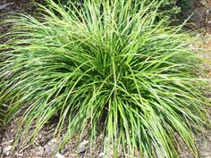 Purei, Carex dissita is an attractive colonising flat-leaved sedge found throughout New Zealand in forest scrub and swampy areas. Hillside Landscaping, Outdoor Landscaping, Landscaping Ideas, Shade Plants, Cool Plants, Trees And Shrubs, Trees To Plant, Sloped Garden, Plants