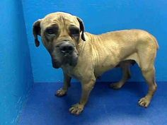 SAFE Brooklyn Center MAXINE - ID#A0961179 FEMALE, BROWN, MASTIFF, 5 yrs POOR MAXINE WANDERED OFF AND NO ONE HAS COME LOOKING FOR HER YET. PLEASE CONSIDER TAKING THIS BEAUTIFUL GIRL HOW WITH YOU ADOPT OR FOSTER http://urgentpetsondeathrow.org/dogs/ubsi-dogs/