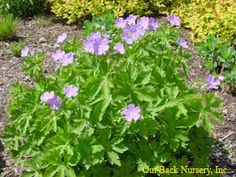 "Geranium maculatum Wild Geranium  Ht. 1-2' W 18"".     Mesic sand/loam soils with humus. Part sun-part shade. Attractive small lavender-pink flowers with blooms from April-July. Excellent for garden borders and massing. Red autumn color."